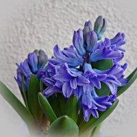 Расцвел гиацинт и наполнил сердце весенней радостью и новыми надеждами... :: Galina Dzubina