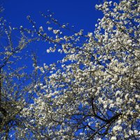 Алыча  расцветает :: valeriy khlopunov