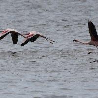 Фламинго :: klara Нейкова