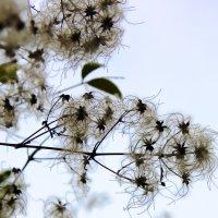 Пушистые цветы зимы :: Светлана