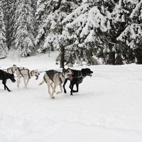 Гонки на собачьих упряжках 2. :: Николай Тренин