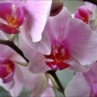 Нежность орхидеи :: Нина Корешкова