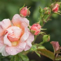 слезы на розе :: Iulia Efremova