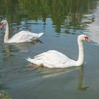 белые птицы :: Сергей Цветков