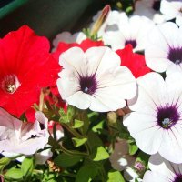 Яркие красотки :: Лидия (naum.lidiya)