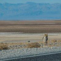 Встреча с кайотом в Долине смерти :: Michael Averkiev