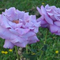 Синяя роза(без фотошопа) :: Антонина