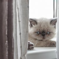 Exotic Shorthair kitten. :: Илья В.