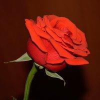 Одинокая роза :: Константин Жирнов