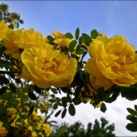 Розы желтые :: Татьяна Пальчикова