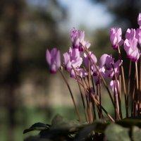 Первоцветы :: Ludmila Lav