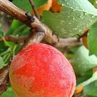 Умытый дождем абрикос :: Лидия (naum.lidiya)