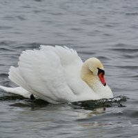 Лебедь шипун :: Paparazzi