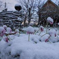 Маргаритки под снегом :: Геннадий Федоров