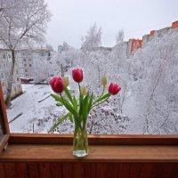 Тюльпаны и свежий снег во дворе :: Дубовцев Евгений