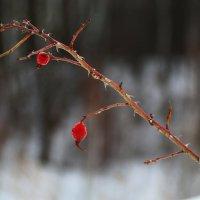 Зимняя ягода :: Василий Прощенский