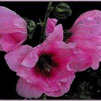 Розовые мальвы :: Нина Корешкова