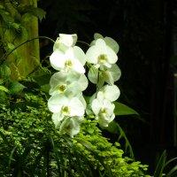 Орхидея... – кто ты?..  фея?..  вниз сорвавшаяся нота?.. :: Galina Leskova