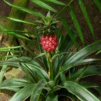Подрастает  ананас... :: Galina Leskova