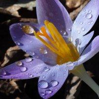 Капельки весны :: Swetlana V