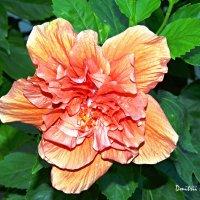 Цветы Таиланда - гибискус :: Дмитрий Боргер