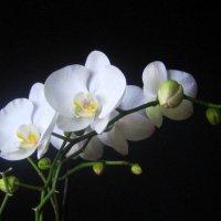 Орхидея в ночи. :: Мила Бовкун