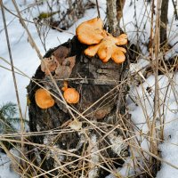 И зимой растут грибы :: Милешкин Владимир Алексеевич