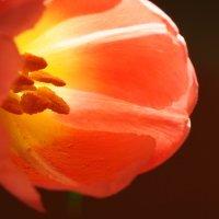 Люблю Вас весною, Тюльпаны...! :: Swetlana V