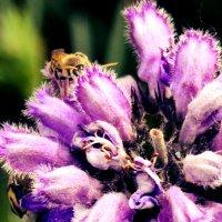 Пчела на цветке :: Юлианна