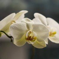 Орхидея :: Оксана Лада