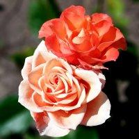 Розы. :: Наталья