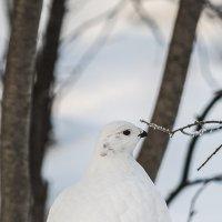 Белая куропатка :: Artyom S