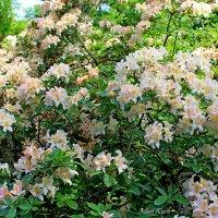 Рододендрон – цветок цветОков,самый лучший в мире цвет... :: Mari Kush