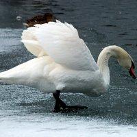 Лед не помеха,если плавать захотелось! :: Наталья