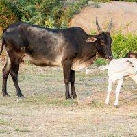 Священная Корова с телёнком :: Виктор Куприянов