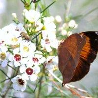 Бабочка - Осенний Лист (Doleschallia bisaltide, размах крыльев 6 - 8 см). :: Антонина
