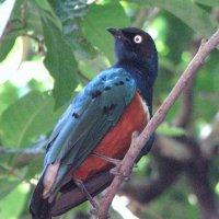 Красногрудый кустарниковый сорокопут :: Антонина