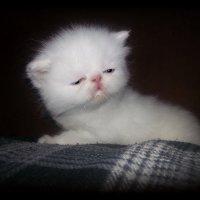 С ДНЕМ КОШЕК!!!!!..................Белый маленький комочек..... :: Людмила Богданова (Скачко)