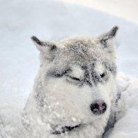 Хаски в снегу :: Иван Перенец