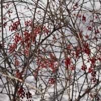 Барбарис зимой. :: Олег Афанасьевич Сергеев