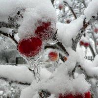 Яблоки под снегом 123624 :: Игорь Шубовичь