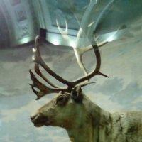 Северный олень. :: Светлана Калмыкова