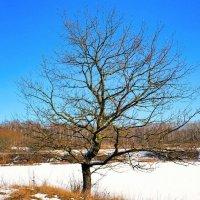 Одинокое дерево :: Милешкин Владимир Алексеевич
