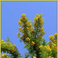 Цветы жарких стран: мимоза :: Андрей Заломленков