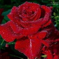 Розы после дождя_3 :: Mikhail Andronikov