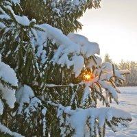сквозь снежные лапы :: Елена