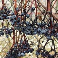 февральский виноград :: Александр Прокудин