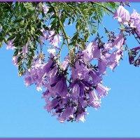 Жакаранда (палисандровое дерево) :: Андрей Заломленков
