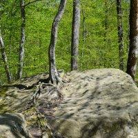 И на камнях растут деревья. :: Береславская Елена