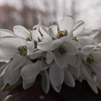 Весна, подснежники ... :: Ольга Винницкая